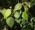 Macaranga involucrata var. mallotoides foliage and flowers.jpg