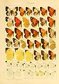 Macrolepidoptera01seitz 0061.jpg