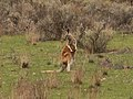 Macropus rufus (30751816598).jpg