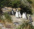 Magellanic Penguins (5540854229).jpg