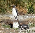 Magellanic Penguins (5540912443).jpg