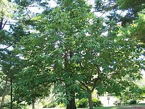 Magnolia obovata - Magnolia obovata tree