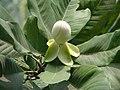 Magnolia pterocarpa.jpg