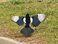 Magpie in Madrid (Spain) 91.jpg