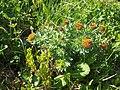 Malá Fatra, Rhodiola rosea.jpg