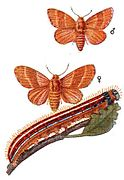 Malacosoma neustria Meyers.jpg