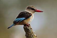 Male Brown-hooded Kingfisher, Halcyon albiventris.jpg
