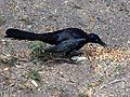 Male Great-Tailed Grackle eating bird seeds.jpg