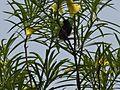 Male Purple Sunbird on Oleander Tree.jpg