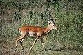 Male impala (3225666565).jpg