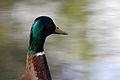 Mallard duck - Toulouse - 2012-04-09 - 1.jpg