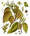 Mallotus philippensis - Köhler–s Medizinal-Pflanzen-221.jpg