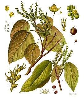 <i>Mallotus</i> (plant) genus of plants