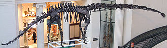 Mamenchisaurus - Mounted M. hochuanensis skeleton, Field Museum
