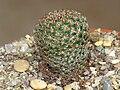 Mammillaria huitzilopochtli L066.jpg