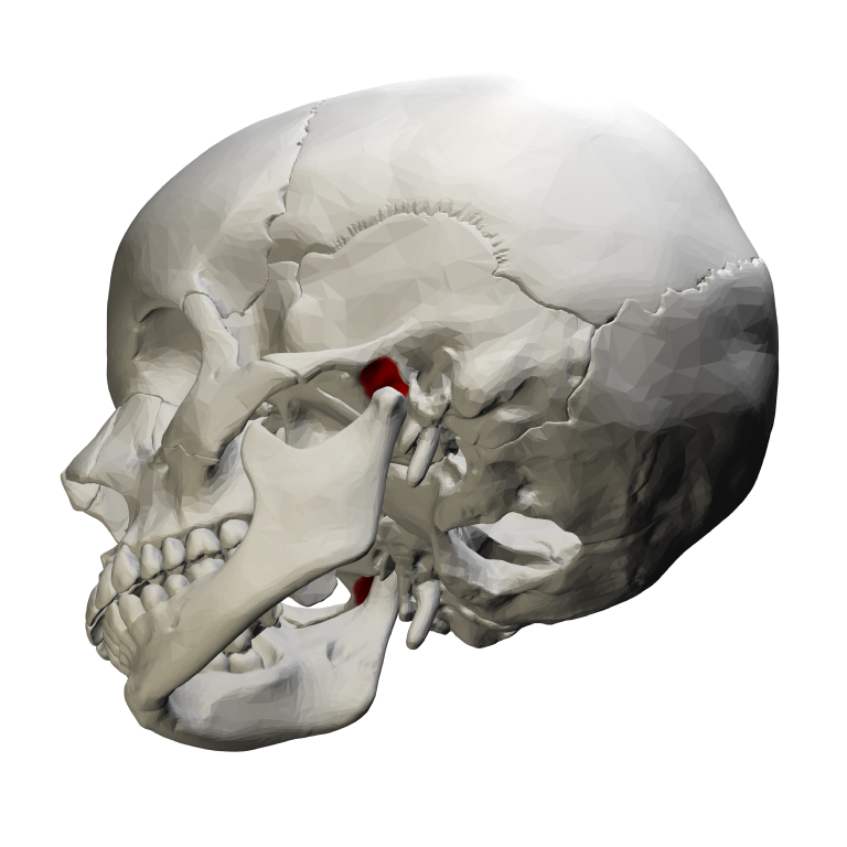 file:mandibular fossa - lateral view01 - wikimedia commons, Human Body