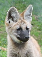 Maned wolf - Wikipedia, the free encyclopedia