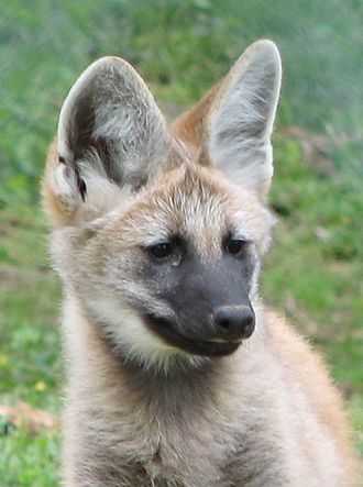 Maned wolf - Maned wolf pup