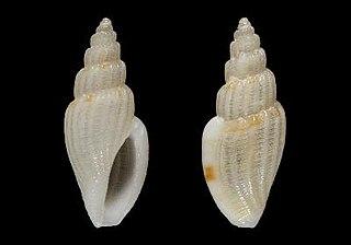 <i>Mangelia androyensis</i> species of mollusc