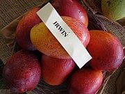 Mango Irwin Asit fs8.jpg