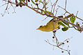 Mangrove Warbler - Canario de Mangle (Setophaga petechia) (16239332926) (2).jpg