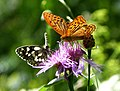Marbled White with Silver-washed Fritillary (16087158561).jpg