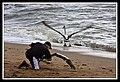 Margate Pelican Rescue- Hammy-02 (6950670977).jpg