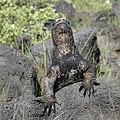 Marine Iguana (47745893311).jpg