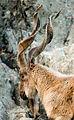 Markhor Horns (4144850557).jpg