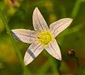 Marsh Bellflower (Campanula aparinoides) - Flickr - wackybadger (1).jpg