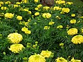 Marygold from Lalbagh flower show Aug 2013 7836.JPG