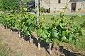 Maumusson-Laguian Gros plant sur une vigne de l'AOC Pacherenc-du-vic-bilh.JPG