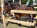 Međimurski konj (Croatia) - kobila.jpg