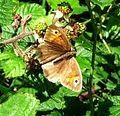 Meadow Brown. Maniola jurtina - Flickr - gailhampshire (2).jpg