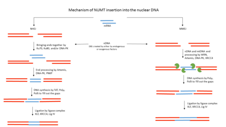 Mechanism of NUMT insertion into the nuclear DNA