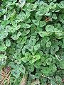 Medicago arabica leaf1 (10450318996).jpg