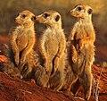 Meerkat (Suricata suricatta) Tswalu (cropped).jpg