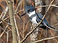 Megaceryle alcyon -Washington Park Arboretum, Seattle, Washington, USA -male-8a.jpg