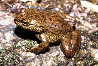 <i>Megaelosia</i> Genus of amphibians
