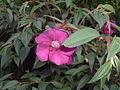 Melastomataceae1.jpg