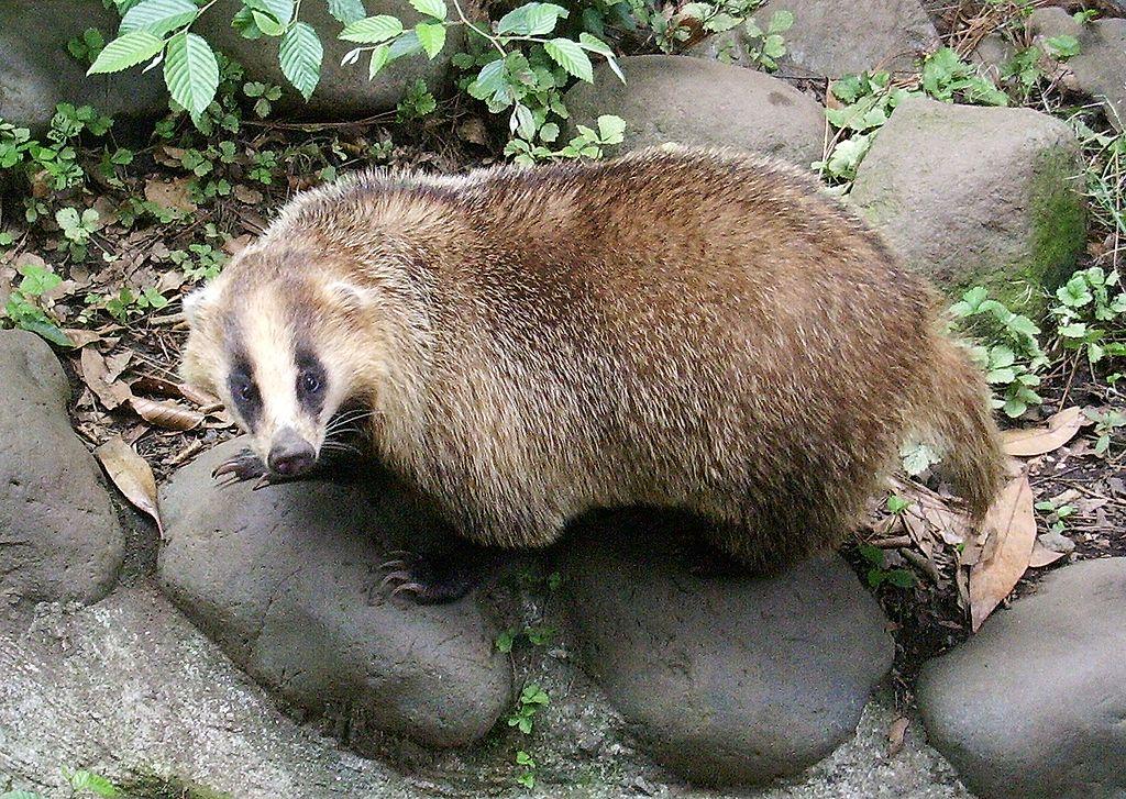 [Bild: 1024px-Meles_meles_anakuma_at_Inokashira_Park_Zoo.jpg]