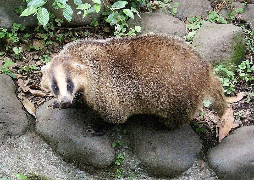 Meles meles anakuma at Inokashira Park Zoo