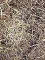 Melica transsilvanica (subsp. transsilvanica) sl30.jpg