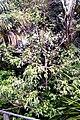 Melicope rubra syn. Evodiella muelleri (Little Euodia). Rainforest, Roma Street Parkland..JPG