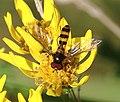 Meliscaeva cinctella (male) - Flickr - S. Rae.jpg