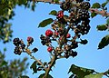 Mellow Fruitfulness - geograph.org.uk - 989397.jpg