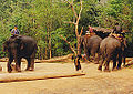 Men with Group of elephants Thailand.jpg