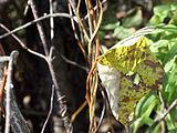 Menispermum canadense 8293.jpg