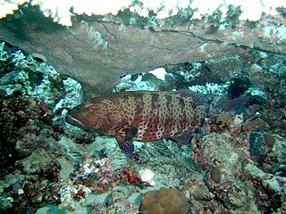 Coral Grouper Sometimes Cooperate With Giant Morays In Hunting