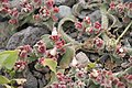 Mesembryanthemum crystallinum TenerifeLosGigantes IMG 5592.JPG
